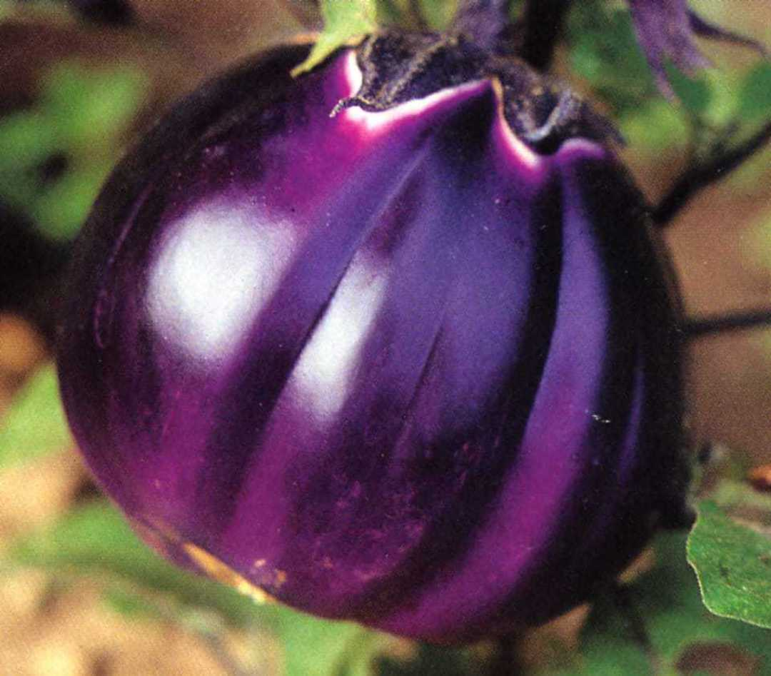 Eggplant Florence Round Purple - round fruits in shades of rich Lavender colour