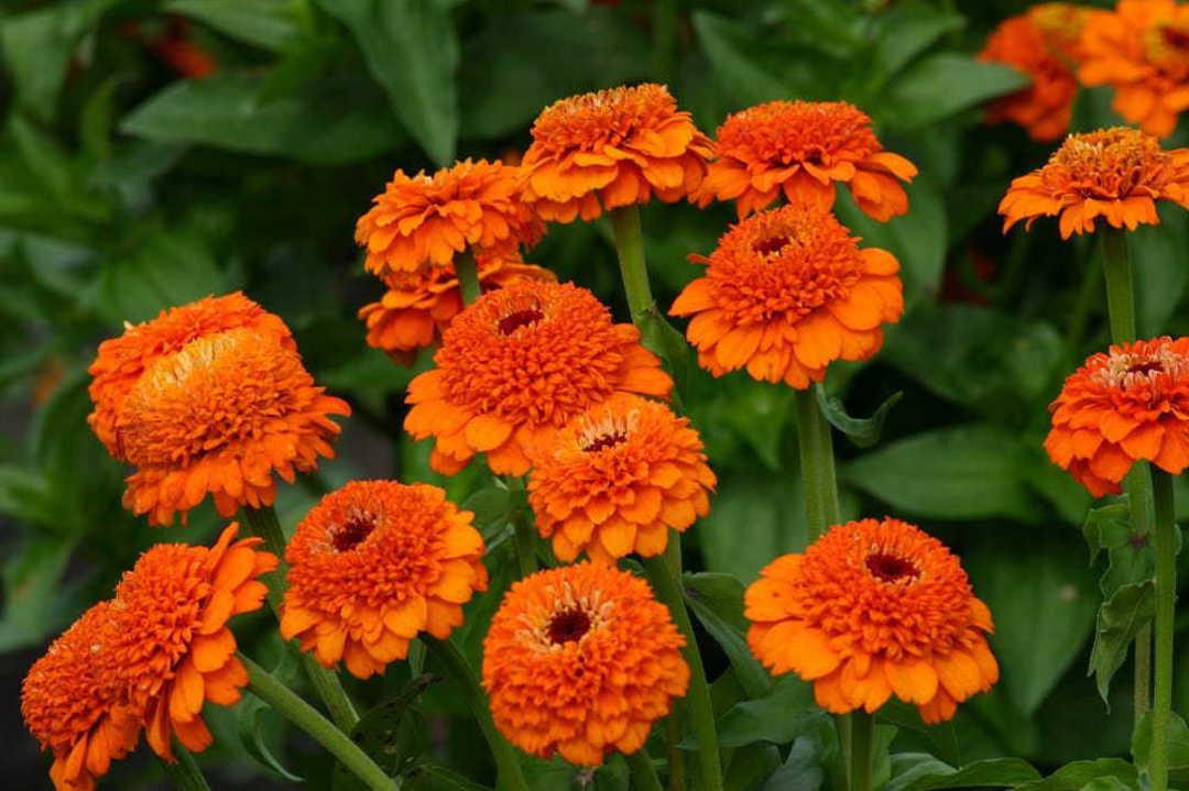 Zinnia Zinderella Orange image 0