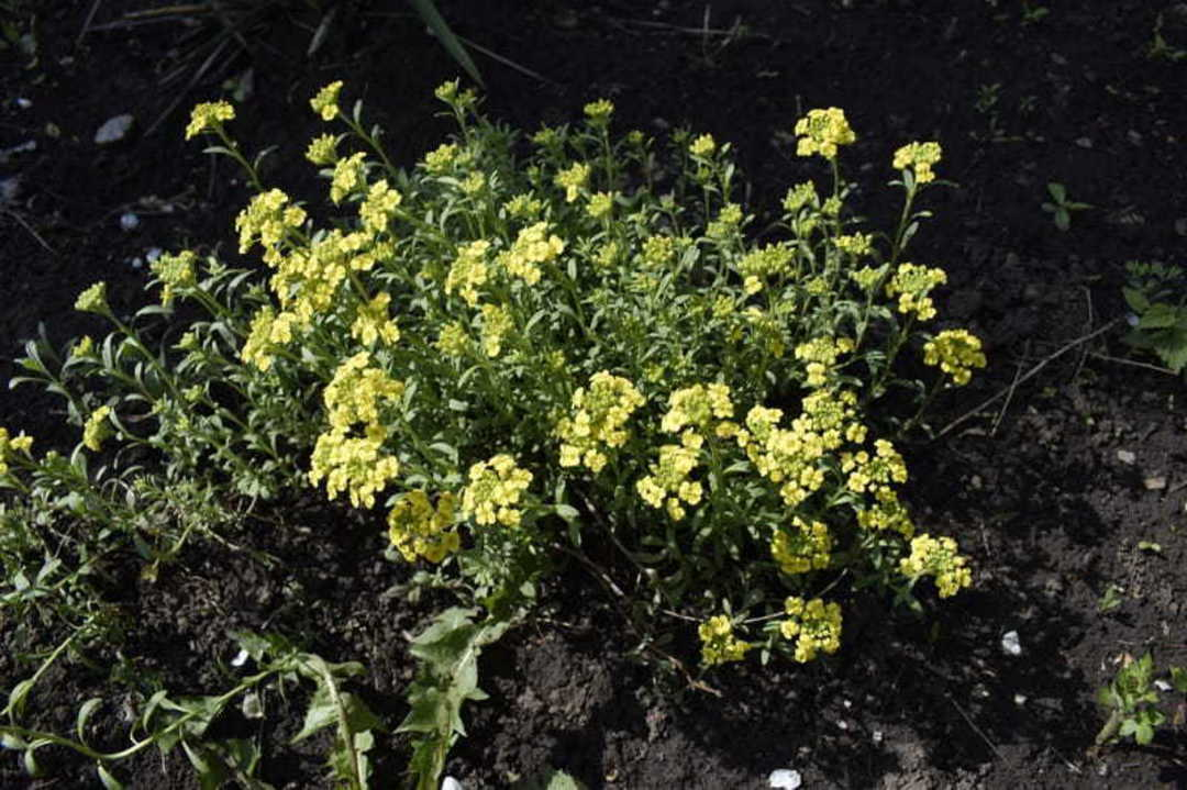 Alyssum Mountain Gold - mass of Golden Yellow flowers