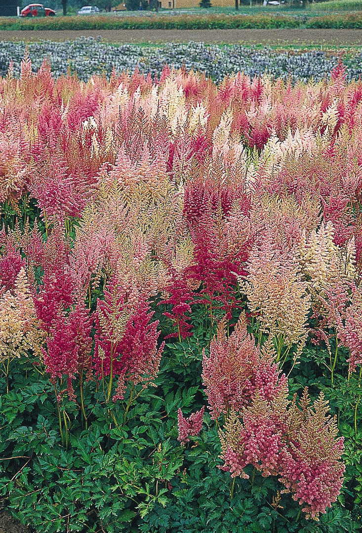 Astilbe Giant Mix - shades of Red, White and Pink