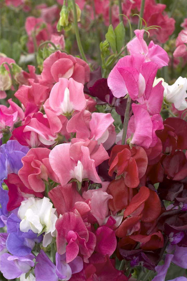 Sweet Pea Winter Elegance - Burgundy, Deep Rose, Mid Blue, Salmon and White