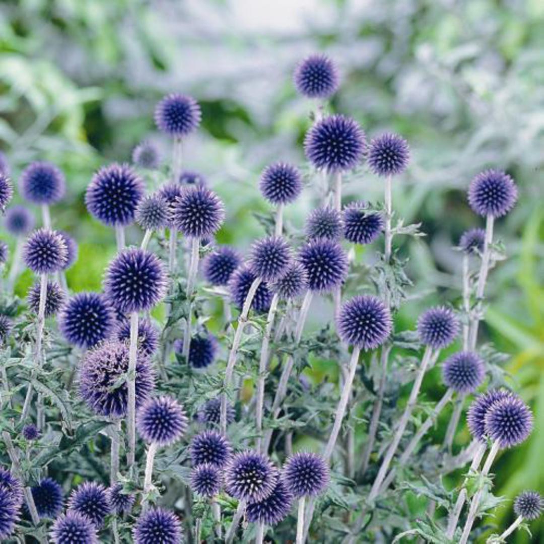 Echinops Blue Globe - Violet Blue globe-like heads of flowers