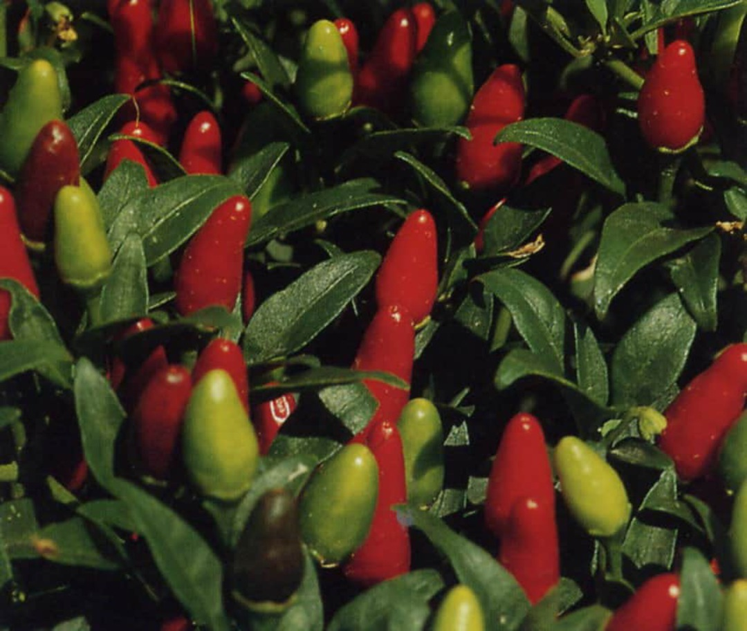 Chilli Thai Hot - numerous red and green chillis growing together