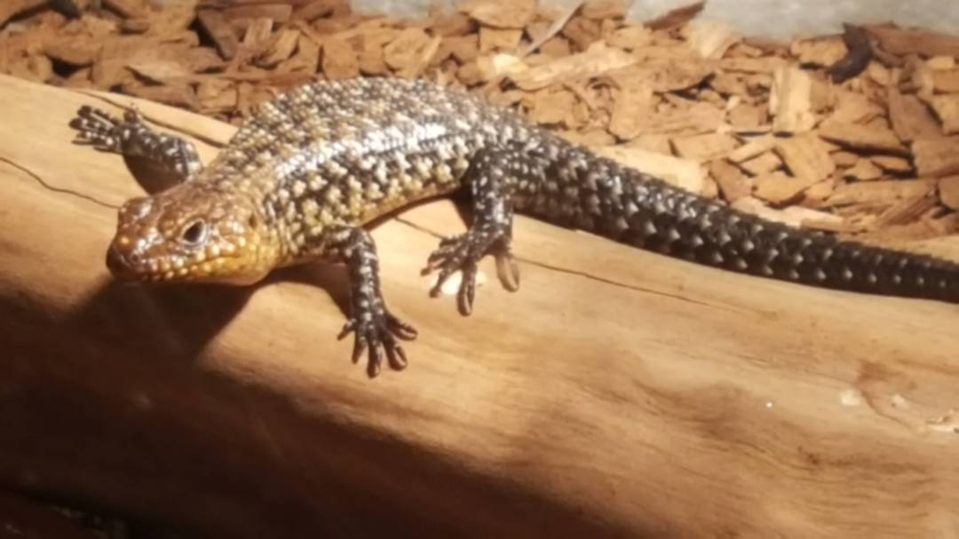 Australian Cunningham Skink - CURRENTLY UNAVAILABLE image 0