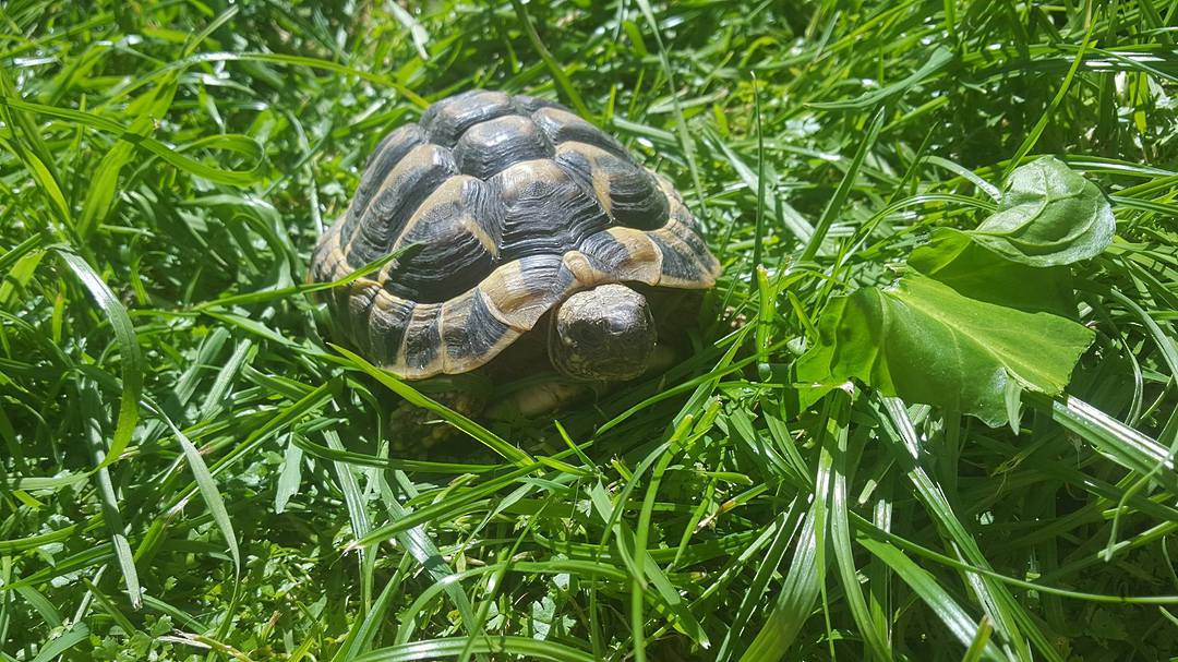 Hermans Tortoise - -AVAILABILITY ON APPLICATION image 0