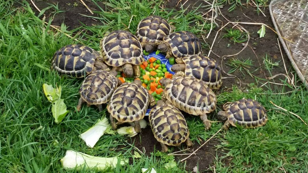 Hermans Tortoise - -AVAILABILITY ON APPLICATION image 1