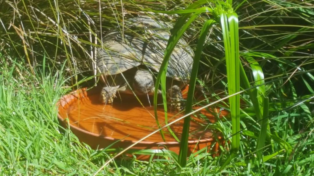 Hermans Tortoise - -AVAILABILITY ON APPLICATION image 5
