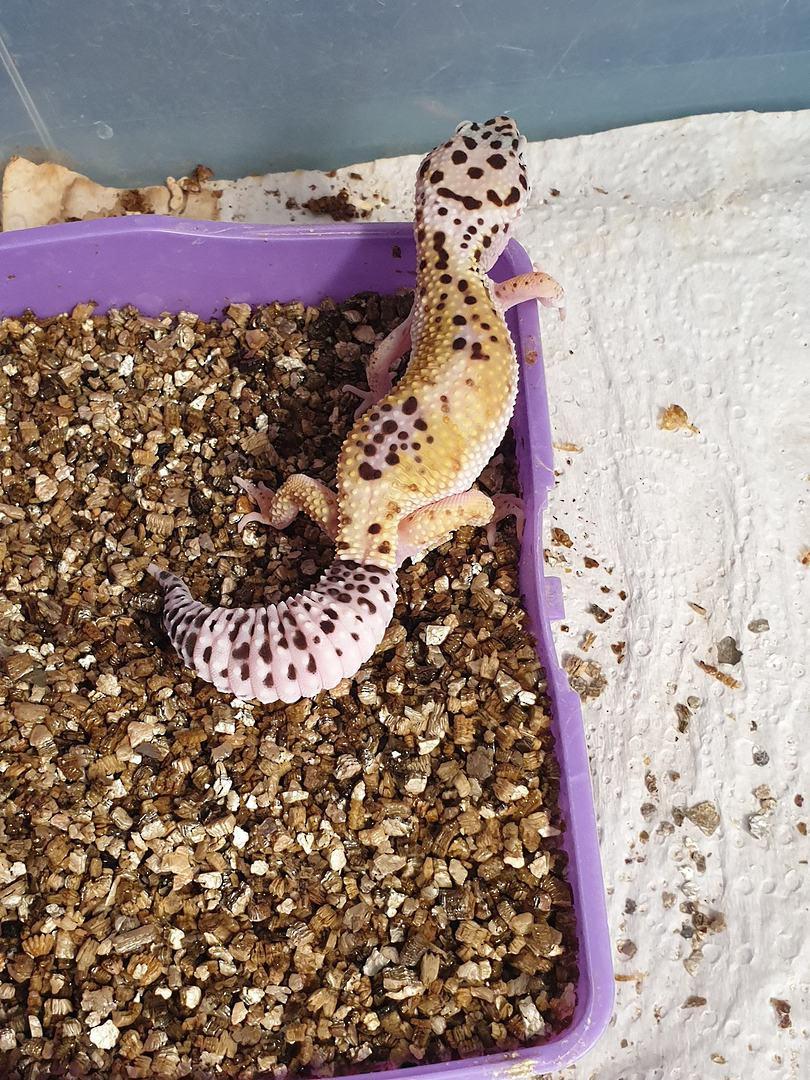 Leopard Geckos -AVAILABILITY ON APPLICATION image 1