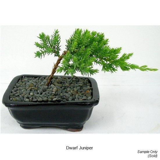 Bonsai Trees 50 00 And Under Gift Ideas Stone And Water World