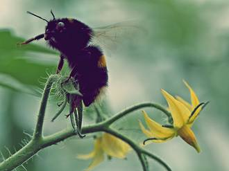 Bumblebees for Pollination