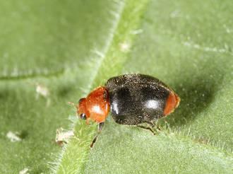 Cryptolaemus Ladybird for Mealybug Control