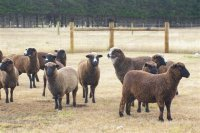 new zealand black sheep from Briar Patch