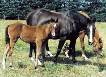 foals-caithness