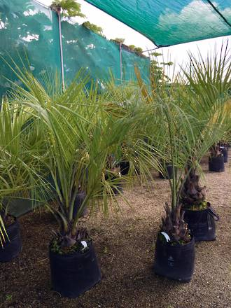 Butia Wine Palm