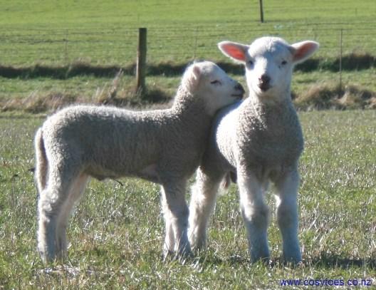 Cosy Toes lambs