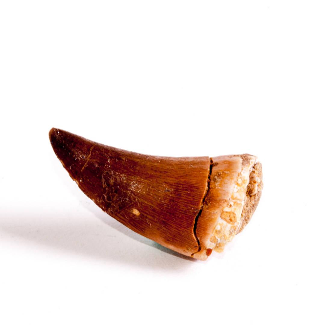 Natural Mosasaurus Tooth