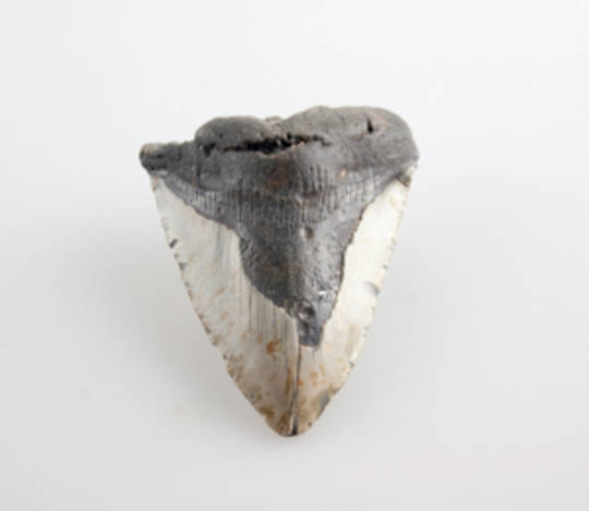 Giant Natural Megalodon Tooth