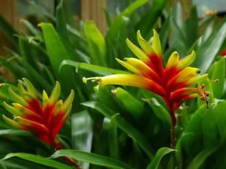 Vriesea carinata - Bromeliad