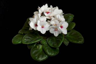 African Violets - Bright Gifts Small Packages