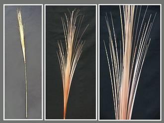 Grass - Bronze Native Tussock Grass