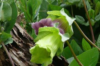 Fuchsia - Classic Beauty Fuchsia