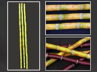Bamboo - Golden Green Stem