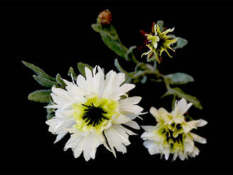Bachelor Button – Country White Stem