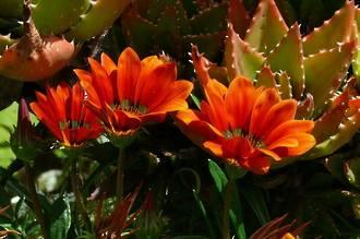 Aloe - Cleopatra's Beauty Secret