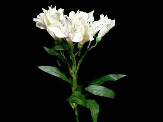 Alstromeria - White Princess Lily