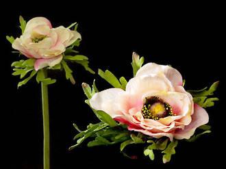 Anemone - Apple Blossom White