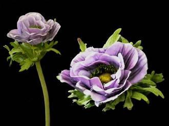 Anemone - Wild Lavender