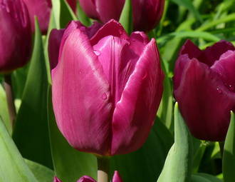 Tulip Gift Card
