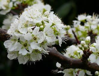 Prunus Gift Card