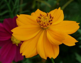 Coreopsis Gift Card