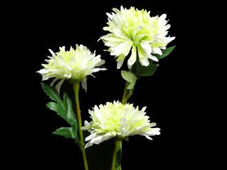 Chrysanthemum - White