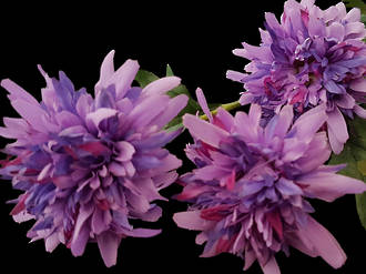Chrysanthemum - Purple