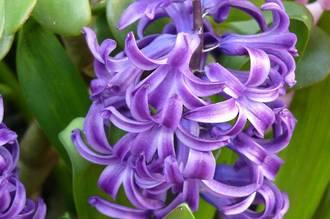 Hyacinth - Heavenly Hyacinth