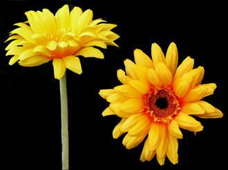 Gerbera - African Daisy Yellow