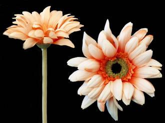 Gerbera - African Daisy Peach