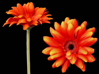 Gerbera - African Daisy Orange