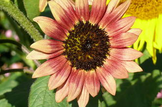 Helianthus - Sunflower to the Gods
