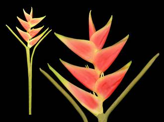 Tropical Heliconia – Artificial Flowers