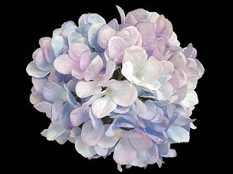 Hydrangea – Blue Mauve