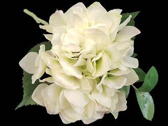 Hydrangea – Soft Cream