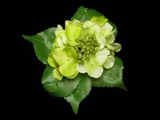 Hydrangea - Mint Green Pick