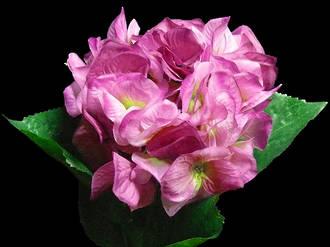 Hydrangea - Vivid Purple