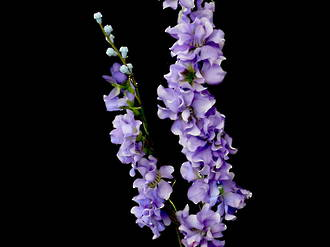 Larkspur Stem – Wild Lilac