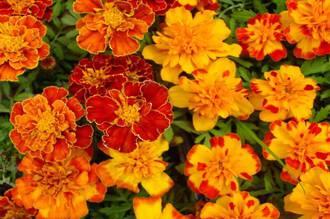 Marigold - Marigolds Sea of Gold