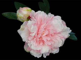 Peony - Fluffy White & Pink