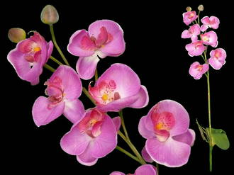 Phalaenopsis Orchid with Leaves
